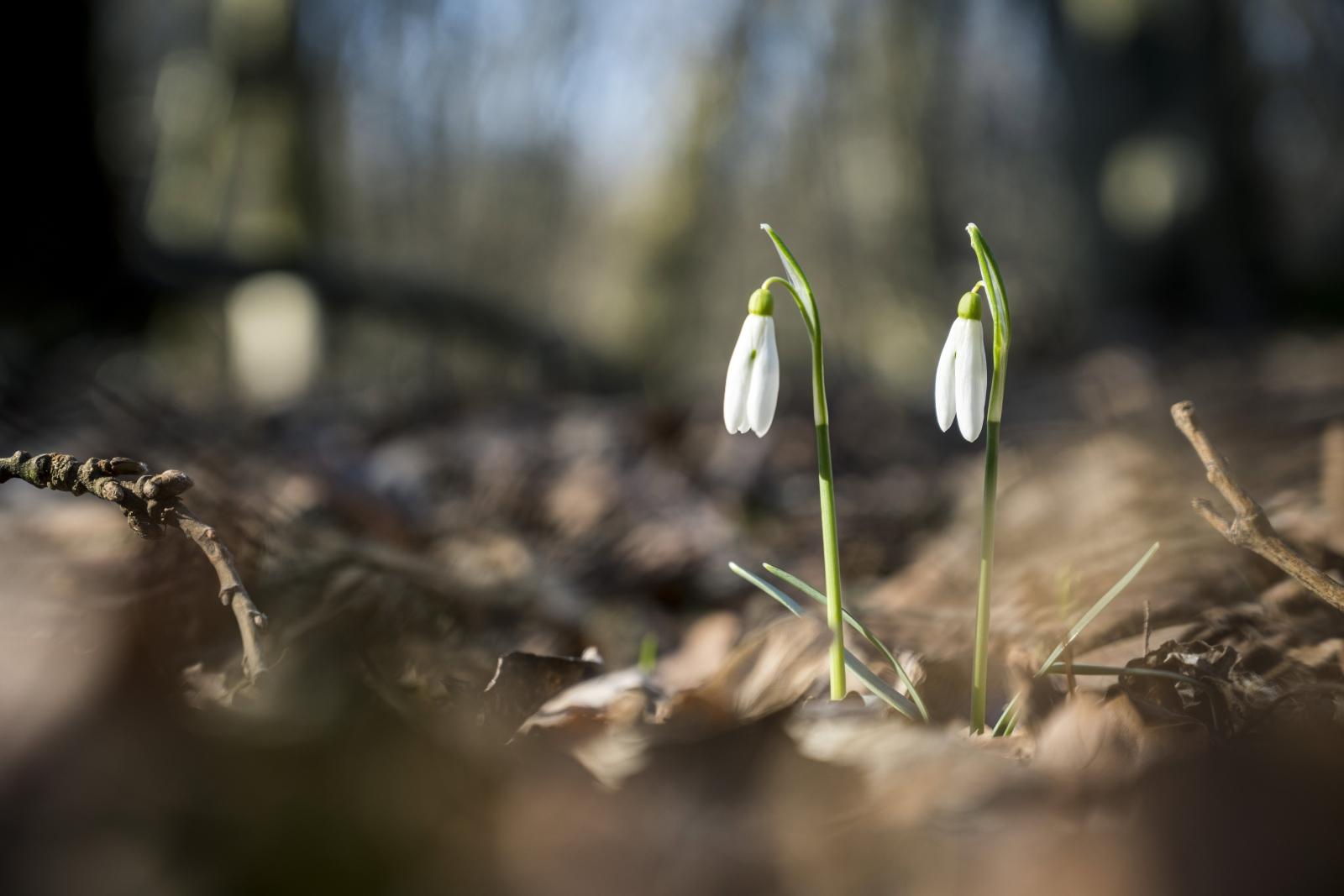 Pierwsze kwiaty na Węgrzech fot. EPA/TAMAS SOKI HUNGARY OUT