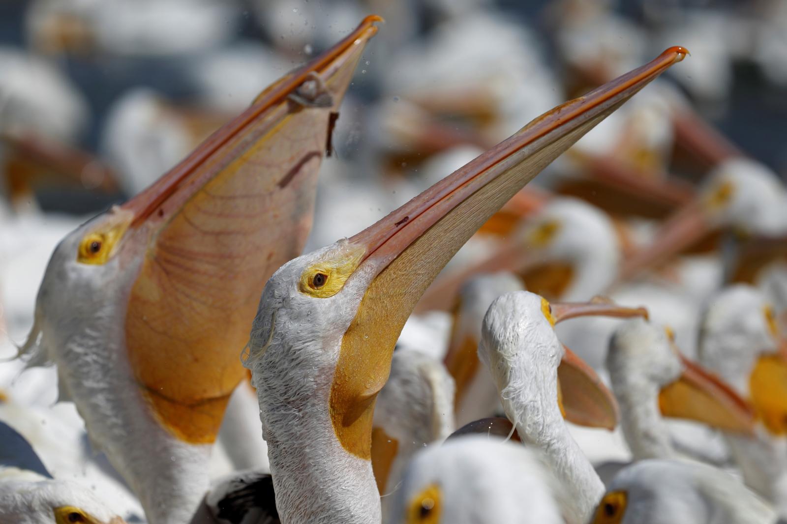 Sto białych pelikanów fot. EPA/FRANCISCO GUASCO