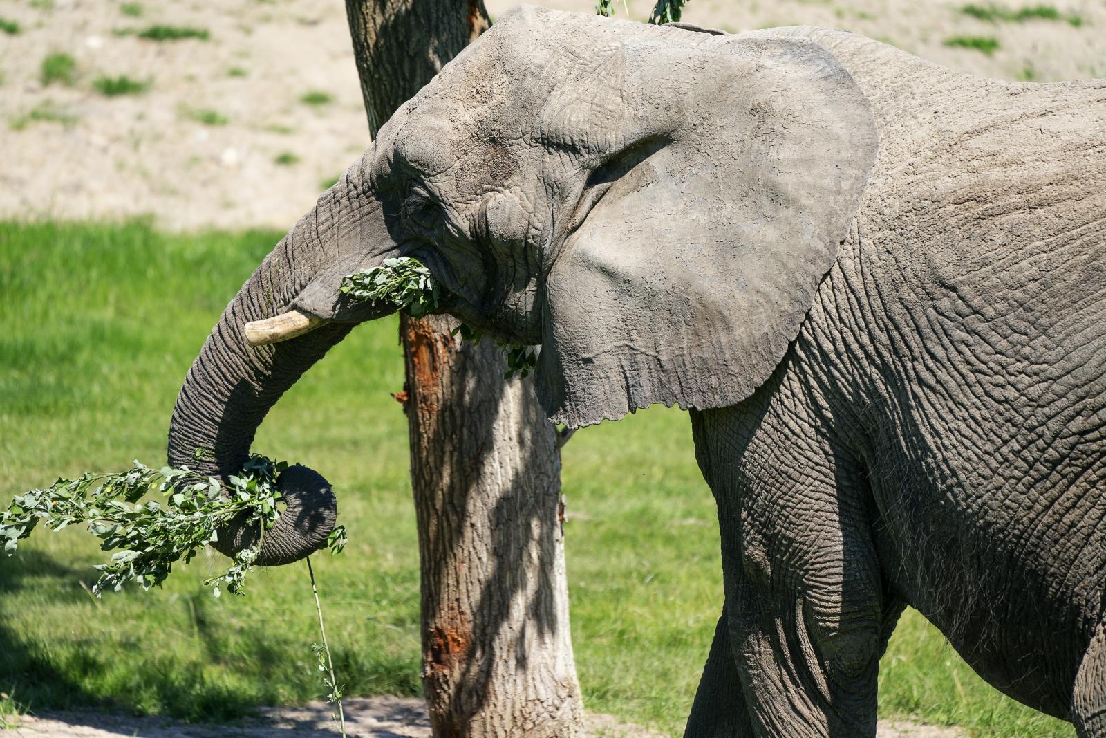 Słoń w zoo fot.  EPA/Claus Bech  DENMARK OUT