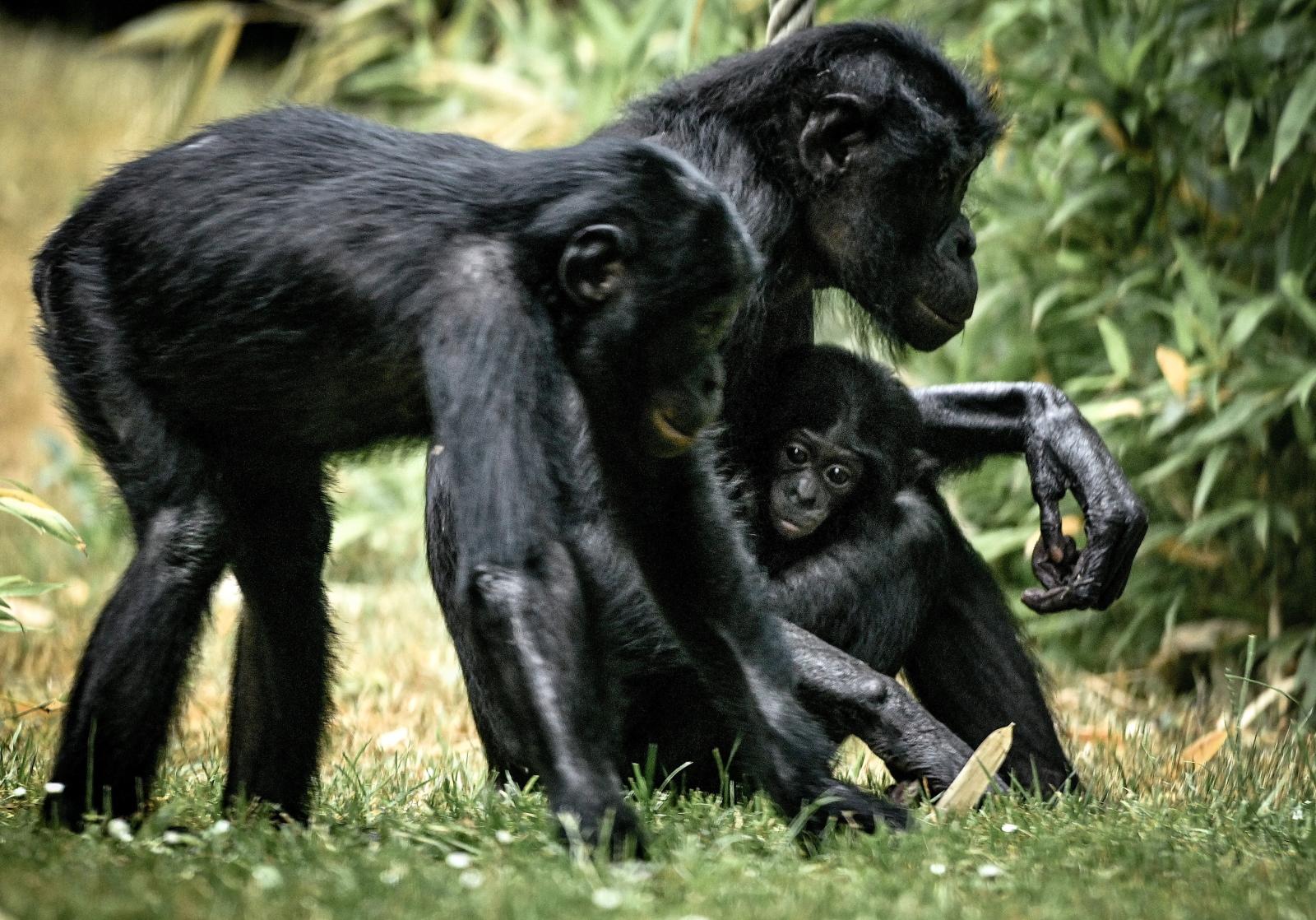 Rodzina szympansów bonobo w zoo w Kolonii w Niemczech Fot. PAP/EPA/SASCHA STEINBACH