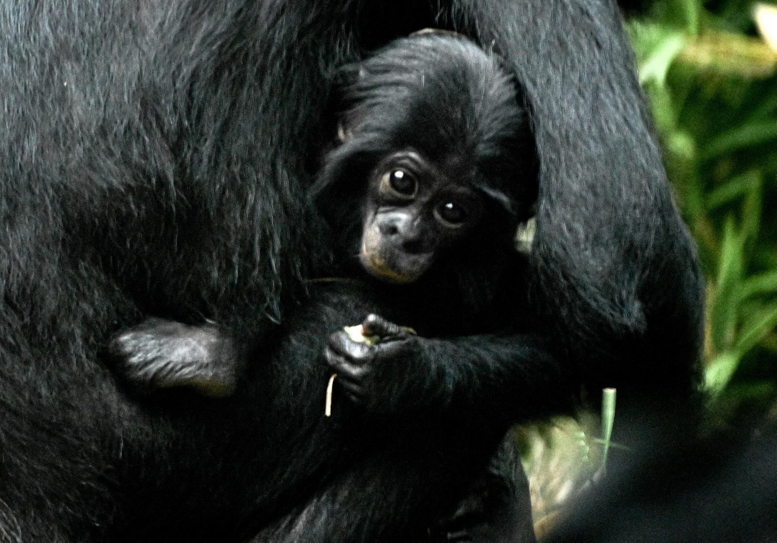 Półroczny szympans bonobo w Niemczech Fot. PAP/EPA/SASCHA STEINBACH